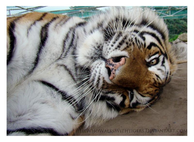 Twist Tiger