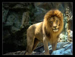 Lion - A Monarchy of Poses by HeWhoWalksWithTigers