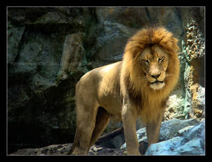 Lion - A Monarchy of Poses