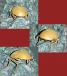 Riven Scarab Beetle