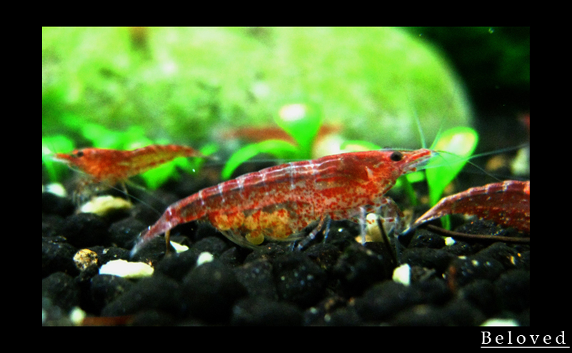Red Cherry Shrimp With Egg 3 By Beloved07 On Deviantart