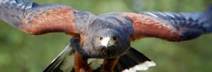 Glare of the Hawk by spendavis
