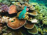 Parrot Fish by terrabird7