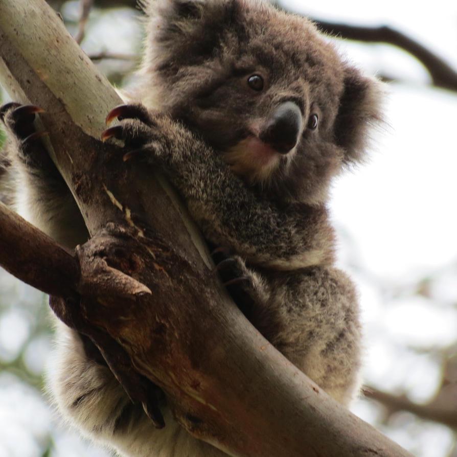 Baby Koala by terrabird7