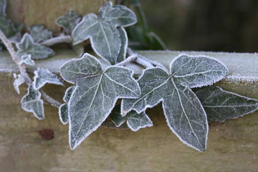 Frozen ivy STOCK