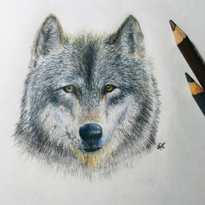 Wolf Coloured Pencil Practice