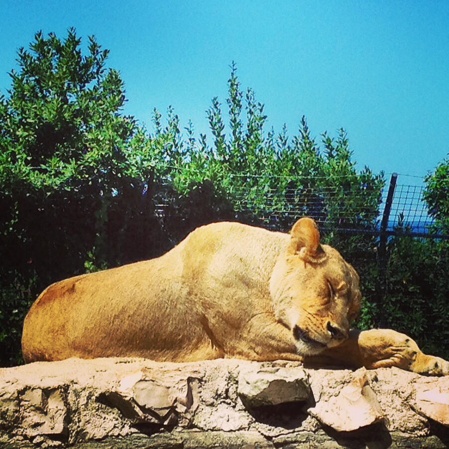 Every Zoo has a Golden Lioness by hermio