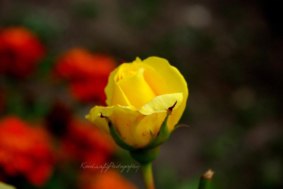 yellow rose by karolinafig