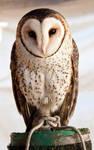 Barn Owl 2011