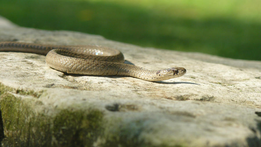 Midland Brown Snake. by buckobeck