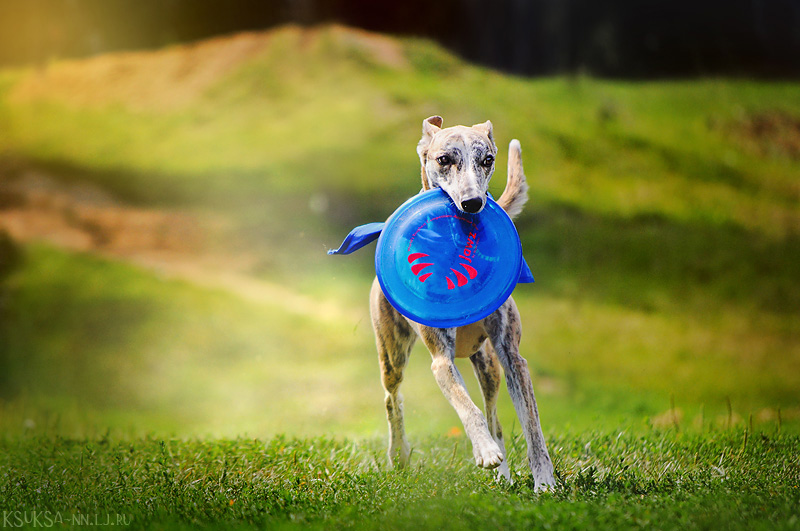 Frisbee-whippet by Ksuksa-Raykova