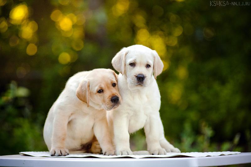 Puppies by Ksuksa-Raykova