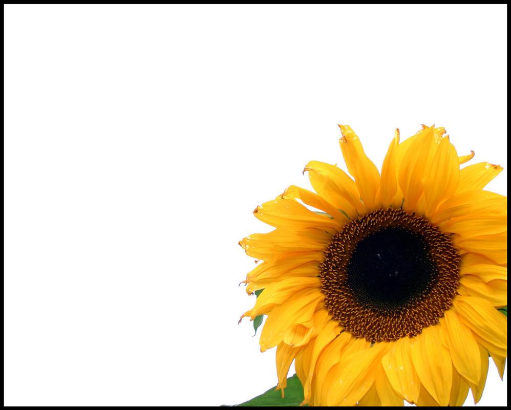 Sunflower by Helmeri on DeviantArt