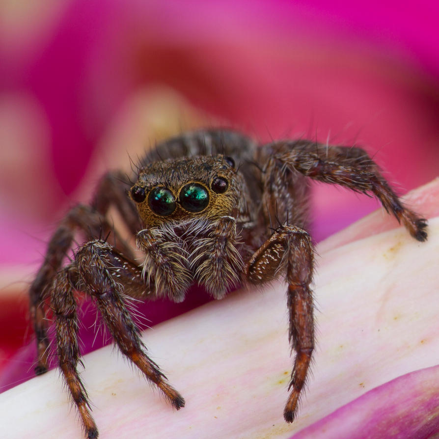 Jumping Spider by HeyNay