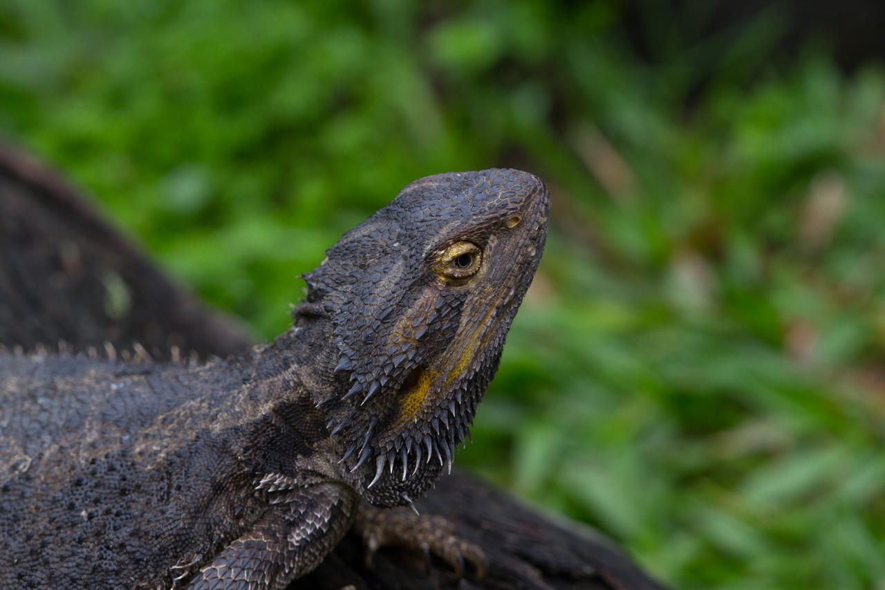 Bearded Dragon by HeyNay