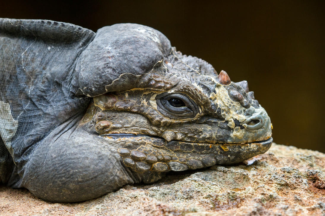 Rhinoceros Iguana 2 by HeyNay