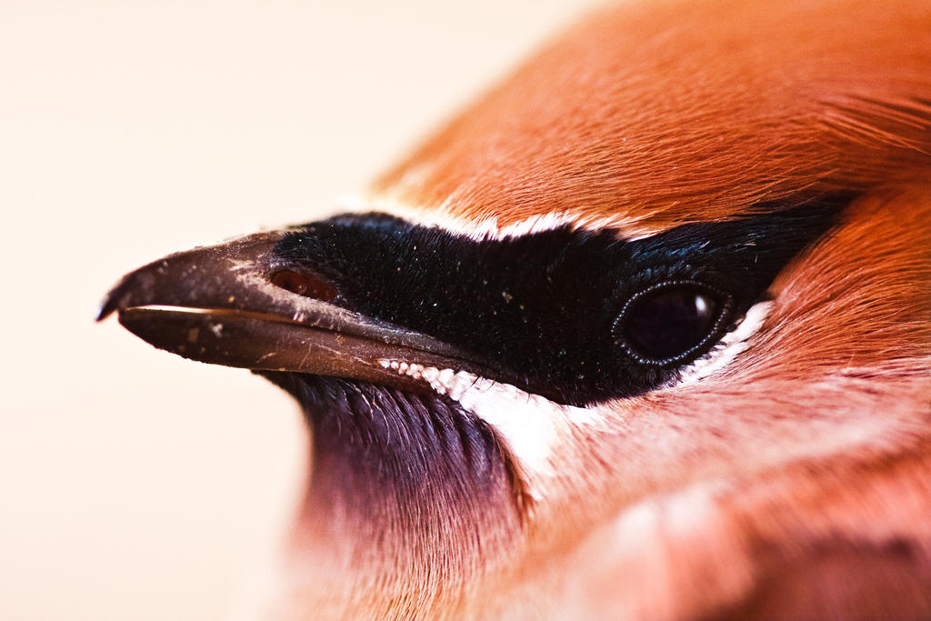 Cedar Waxwing by AlexanderLevett