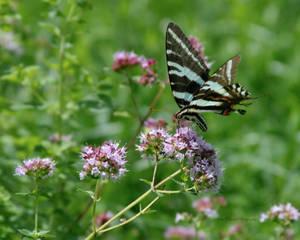 Zebra Swollowtail