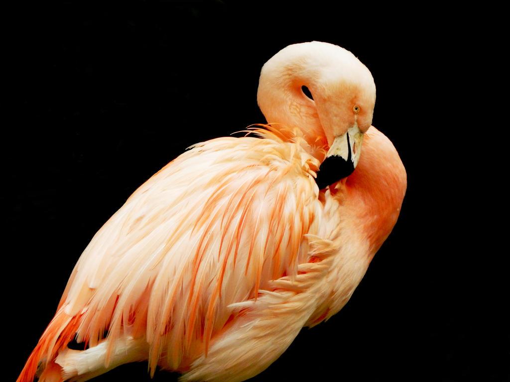 Flamingo by Bewlyer