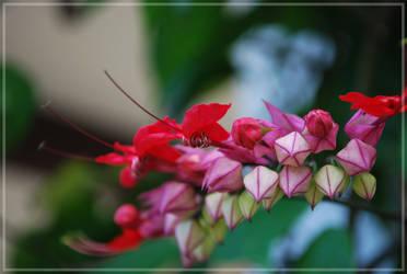 Vine flowers in Cuba by xpsuedoxangelx