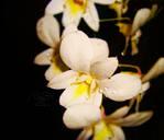 Orchid Dew by zeta-eta