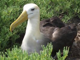 Albatross by mmshoe