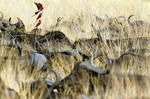 Carmine Bee-Eaters and Buffaloes by mpoliza