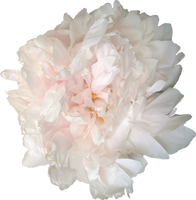 pivoine blanc-rose :STOCK: by NathL-fr