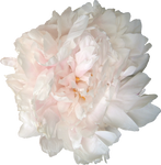 pivoine blanc-rose :STOCK: