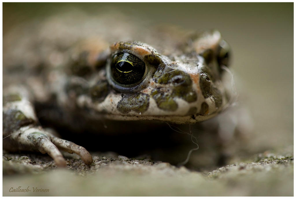 Frog by Cailleach-Verinen