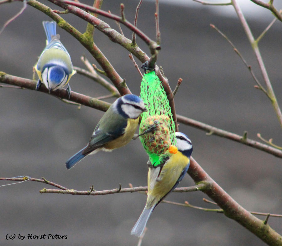 The Blue Tit Trio / Blaumeisen Trio by bluesgrass