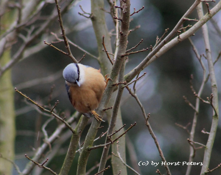 Nuthatch 8 by bluesgrass