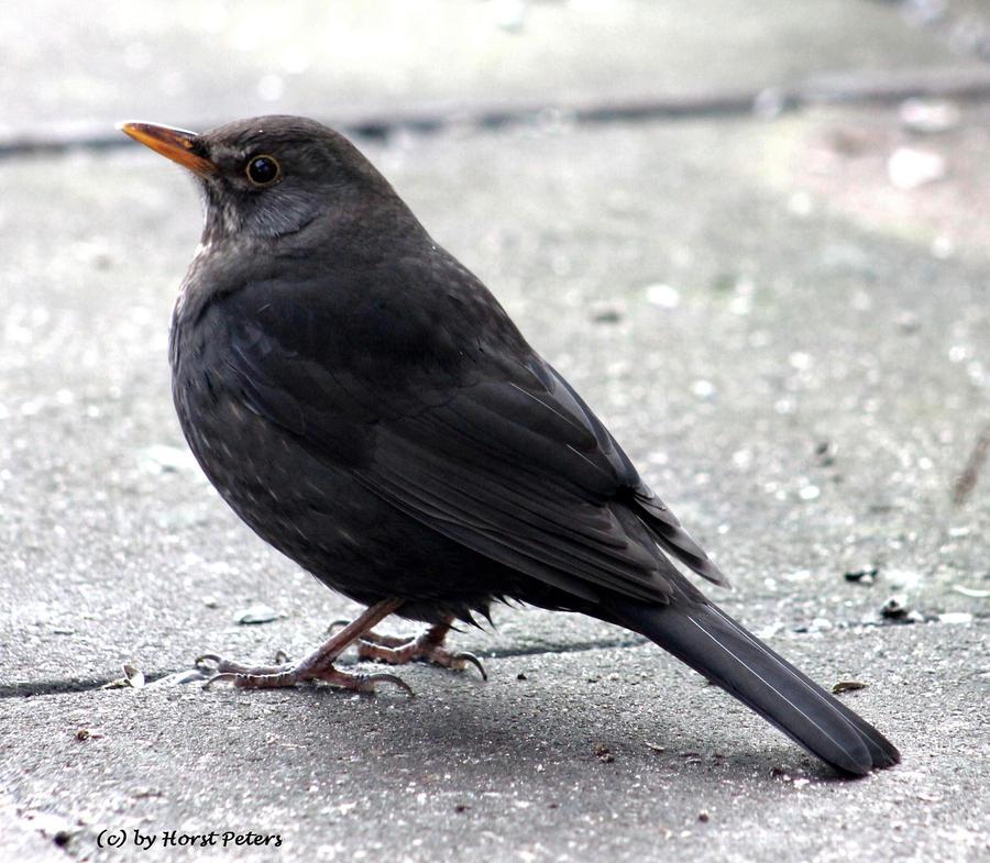 Blackbird 16 by bluesgrass