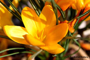 Crocus 3 by bluesgrass