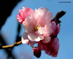 Cherry blossom 3 by bluesgrass