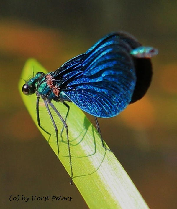 Blaue Prachtlibelle (Caleopteryx virgo) by bluesgrass