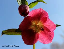 Helleborus by bluesgrass