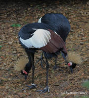 Schwarzer Kronenkranich / Black Crowned Crane by bluesgrass