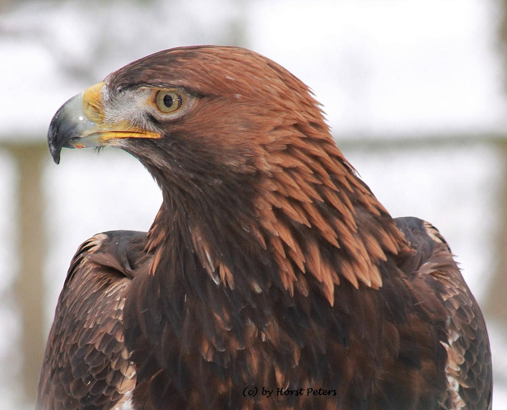 Golden Eagle 4 / Steinadler 4 by bluesgrass