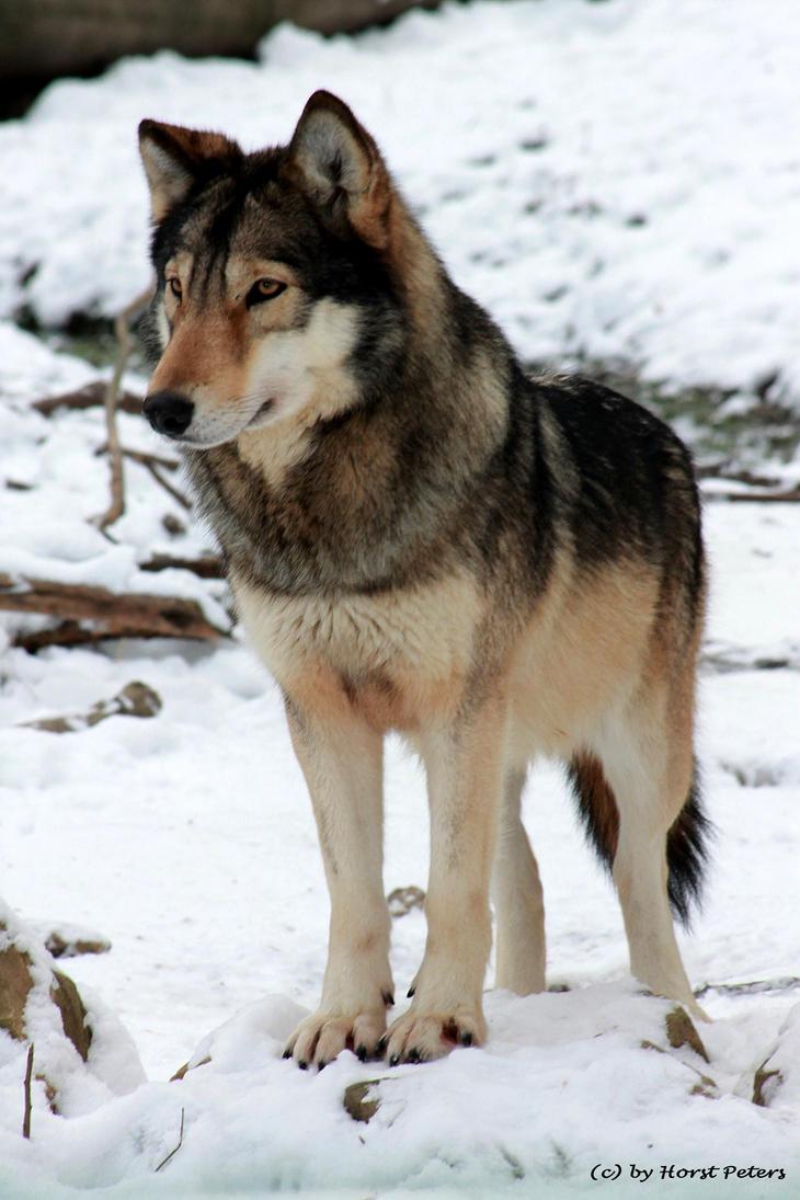 Timber Wolf / Timberwolf 3 by bluesgrass