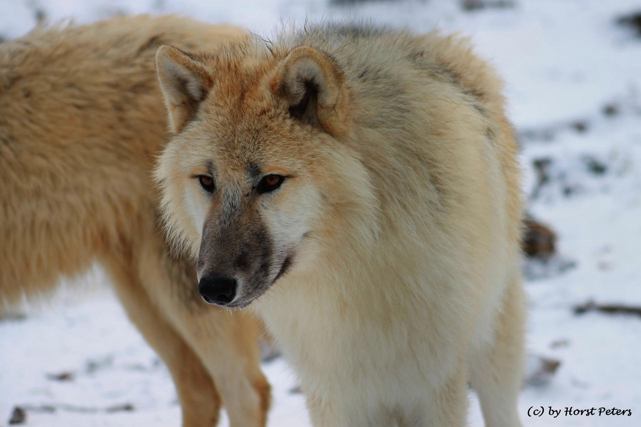 Arctic Wolf / Polarwolf 1 by bluesgrass
