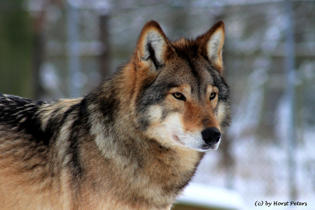Timber Wolf / Timberwolf 4 By Bluesgrass On DeviantArt