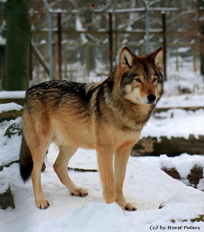 Proud Timberwolf by bluesgrass