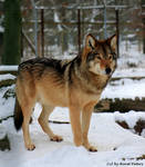 Proud Timberwolf