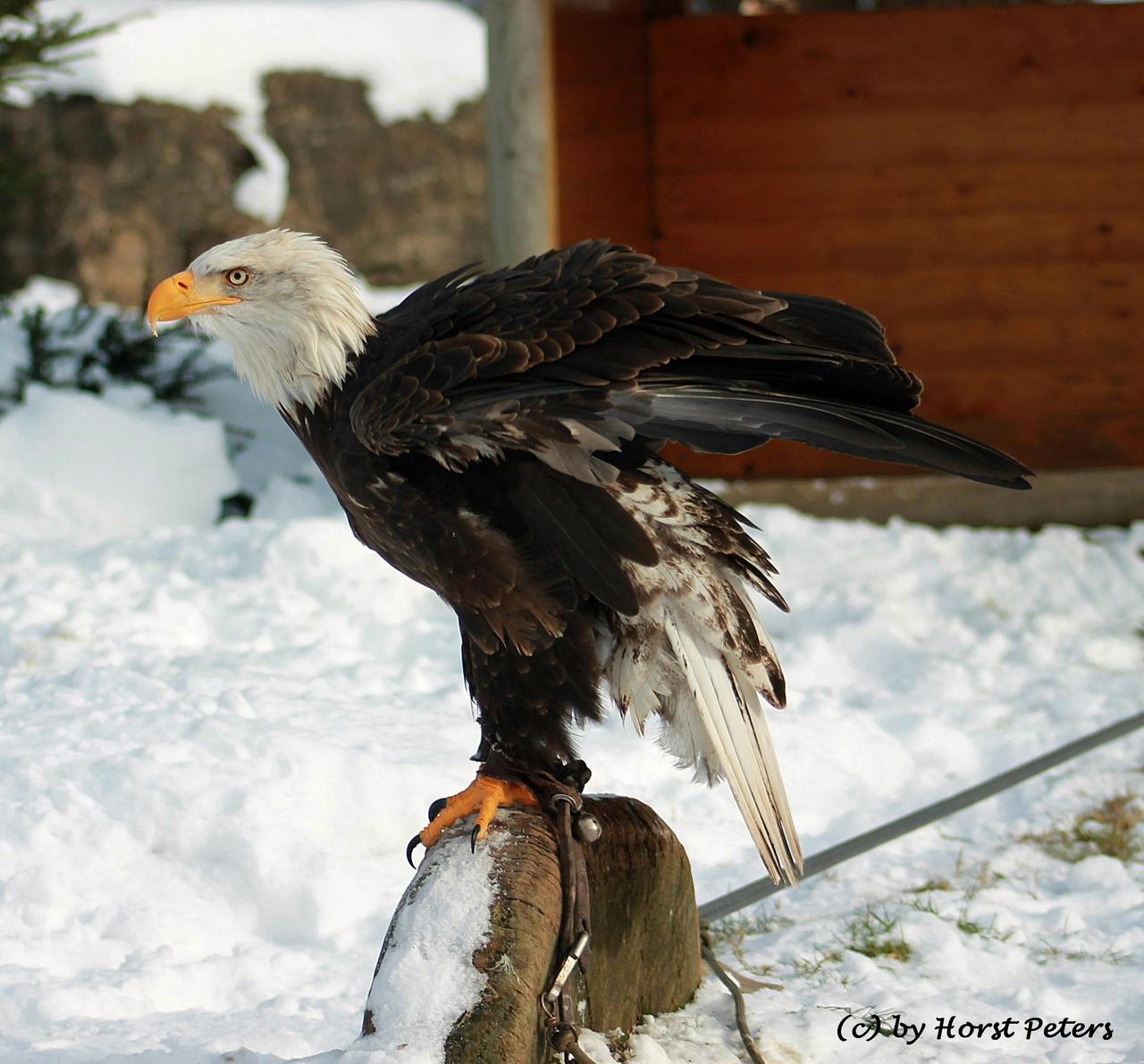 Weisskopfseeadler / Bald Eagle 5 by bluesgrass