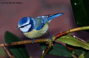 Little shy Bluetit by bluesgrass