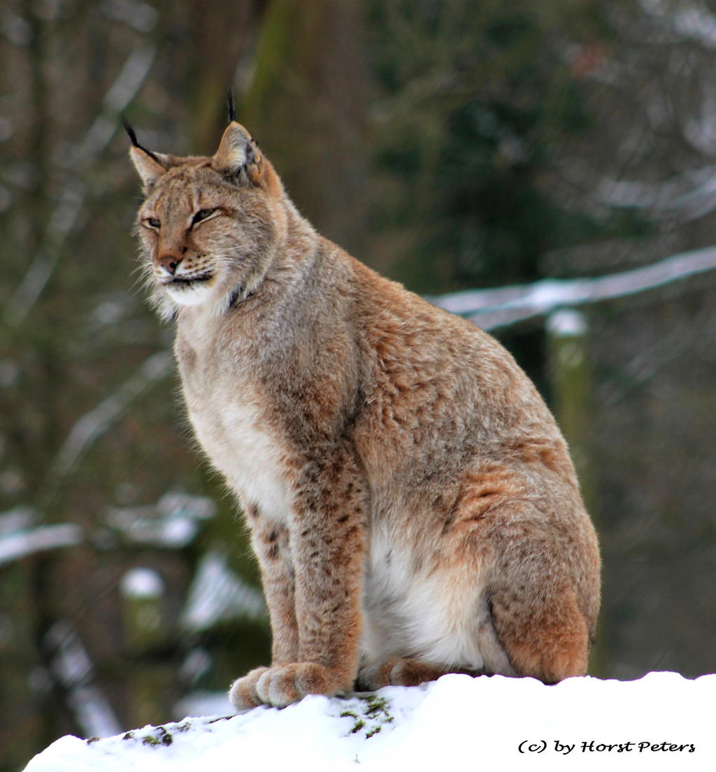 Lynx / Luchs 2 by bluesgrass