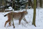 Lynx   Luchs 3