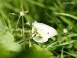 Grosser Kohlweissling / Large White