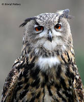 Uhu / Eagle Owl by bluesgrass